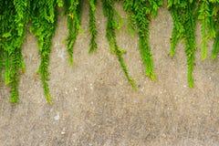 Ny grön bladväxt på grungeväggbakgrund. Royaltyfri Bild