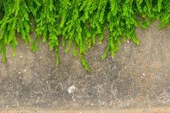 Ny grön bladväxt på grungeväggbakgrund Royaltyfria Foton