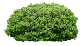 Ny grön buske som isoleras på vit bakgrund royaltyfria foton
