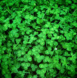 Ny grön design för växter av släktet Trifolium på våren Arkivfoto