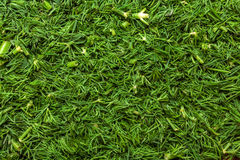 Ny grön dill Arkivfoton