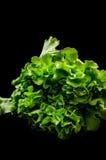 Ny grön grönsallat Royaltyfri Bild