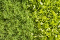 Ny grön grönsallat och dill Arkivbild