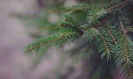 Ny grön granfilial som utanför växer fotografering för bildbyråer