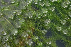 Ny grön hydrillaverticillata som växer i vattnet, Hydrilla havsväxt, Hydrilla Verticillata, Hydrocharitaceaehavsväxt Hydrilla arkivfoton