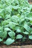 Ny grön kinesisk grönkål Arkivfoto