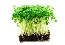 Ny grön kryddkrassesallad på den vita bakgrunden Royaltyfria Bilder