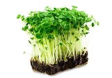 Ny grön kryddkrassesallad på den vita bakgrunden Arkivfoton