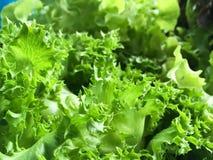 Ny grön Lactuca som är sativa i naturträdgård Royaltyfri Fotografi