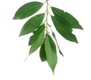ny grön leaf för fjärd Royaltyfri Foto