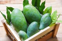 Ny grön mango och gröna sidor på för träask frukt för sommar för mango för bästa sikt/skördrå arkivbilder