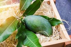 Ny gr?n mango och gr?na sidor p? tr?asken - frukt f?r sommar f?r sk?rdmango r? arkivbilder