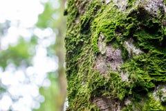Ny grön mossa på skället av ett träd Royaltyfri Bild