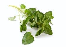 ny grön oregano Royaltyfri Bild