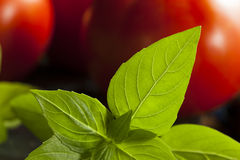 Ny grön organisk basilika Arkivbild