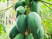 Ny grön papaya på träd Royaltyfria Foton