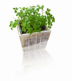 ny grön parsley Royaltyfri Bild