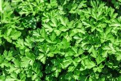 Grönsaksäng med parsley Arkivbild