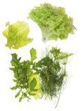 Ny grön sallad, dill, persilja och arugula Arkivbild