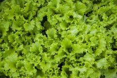 Ny grön sallad lämnar bakgrund arkivfoto