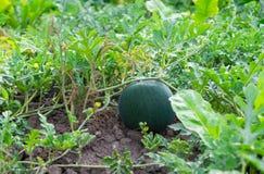 Ny grön vattenmelon Royaltyfri Fotografi
