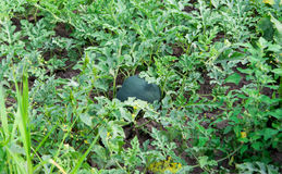 Ny grön vattenmelon Fotografering för Bildbyråer
