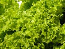 ny grönsallat Arkivfoto