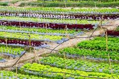 Ny grönsallat som växer i ett hydrokultursystem Arkivfoto