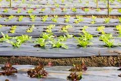 Ny grönsallat som växer i ett hydrokultursystem Arkivfoton