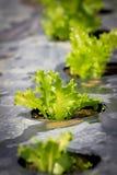 Ny grönsallat som växer i hydrokultursystem Royaltyfri Bild