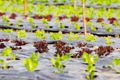 Ny grönsallat som växer i hydrokultursystem Royaltyfria Foton