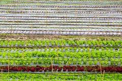 Ny grönsallat som växer i hydrokultursystem Royaltyfri Fotografi