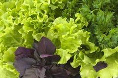 ny grönsallatparsley för basilika Royaltyfri Foto