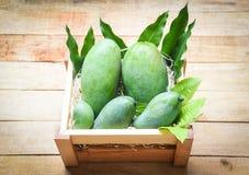 Ny gr?n mango och gr?na sidor p? tr?asken - frukt f?r sommar f?r sk?rdmango r? arkivbild