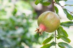 Ny granatäpple på trädet Royaltyfri Foto