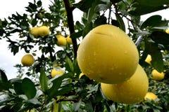 Ny grapefrukt på träd Arkivbild