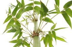 ny green för bambu Fotografering för Bildbyråer
