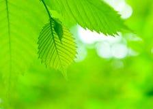 ny green låter vara lönn arkivbilder