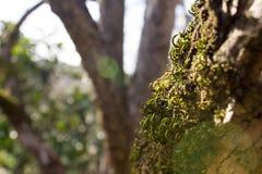 Ny grön mossa på en trädstam Royaltyfria Foton