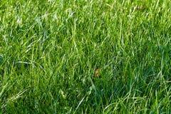 ny gräsgreenfjäder Royaltyfri Fotografi