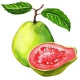 Ny guavafrukt som isoleras på vit bakgrund vektor illustrationer