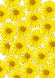 Ny gul bakgrund för blomma (Doronicumorientale) Arkivfoto