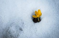 Ny gul krokus i snön som smälter, Grekland Arkivbilder