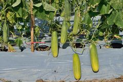 Ny gurka i lantgården Arkivfoto