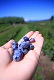 ny hand för blåbär Royaltyfri Foto