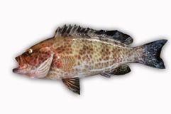 Ny havsaborre på vit bakgrund, fiskfilé, sund mat, ny fisk från havet Arkivfoto