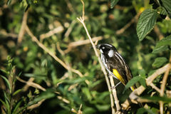 Ny Holland Honeyeater fågel på perch Royaltyfria Foton