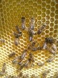 Ny honungskaka med honung och arbetande bin royaltyfria bilder