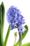 ny hyacint fotografering för bildbyråer