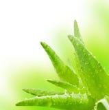 ny isolerad leaf för aloe över vera white arkivbilder